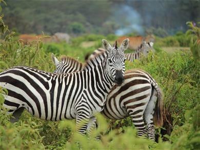 Baby Zebra With Polka Dots Instead Of Stripes Was Discovered In Kenya