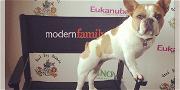 'Modern Family' Star French Bulldog, Stella, Suddenly Dies After Show Wraps Final Season