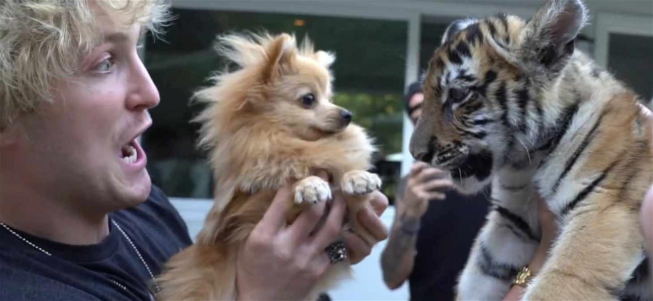 Logan Paul YouTube Video Leads to Charges for 'Mistreatment' of Tiger Cub