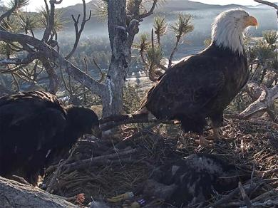 One of the Baby Bald Eagles from Big Bear Died During Weekend Storm