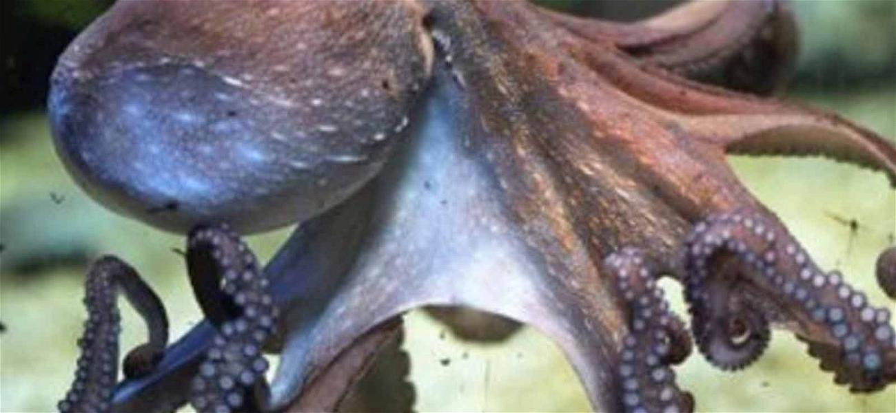 Online Petition Calls On Japan World Cup Team to Defend Slain Psychic Octopus
