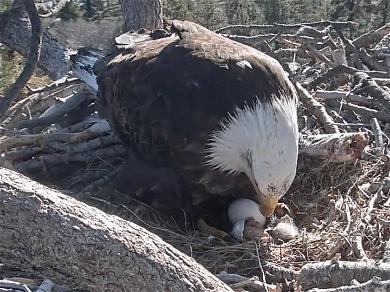 Big Bear Bald Eagle Egg Hatches … It's an Eagle!