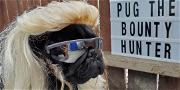 This Dog Already Won Halloween With 'Pug the Bounty Hunter' Costume