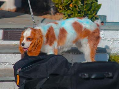 Selena Gomez's Dog Charlie Dyed Bright Blue!
