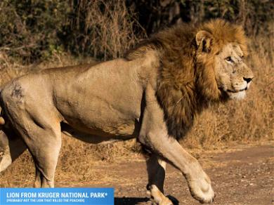 Delicious Revenge!  South African Lions Maul Suspected Poacher to Death