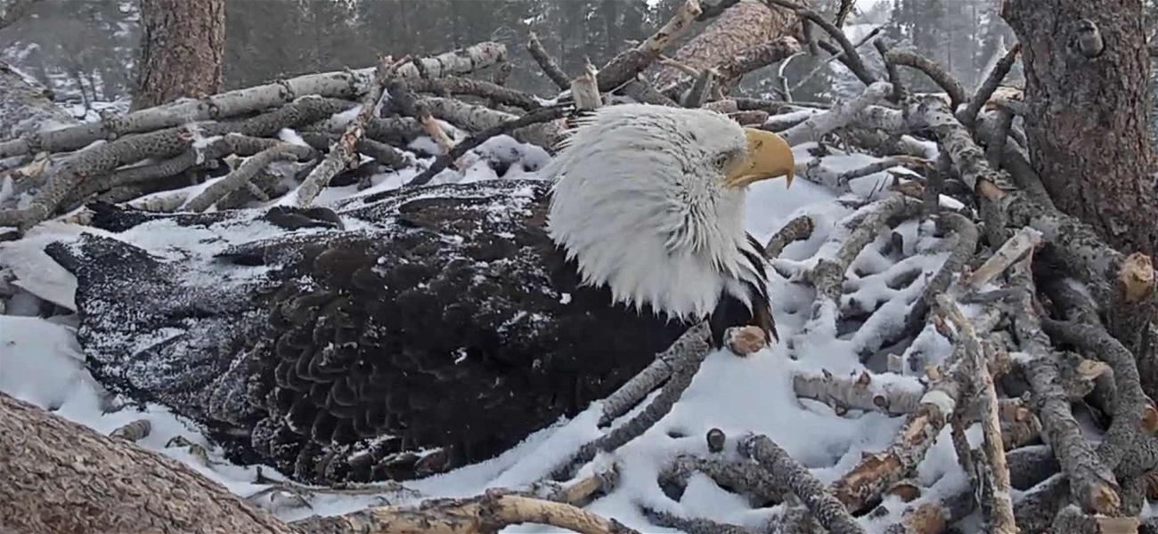 Forest Officials Keep Close Watch to Protect Bald Eagle After She Lays Egg
