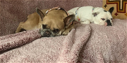Lady Gaga's French Bulldogs Returned Safe And Sound! Suspects Still At Large